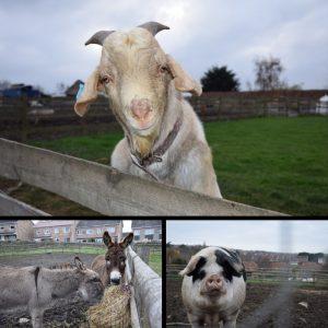 Farm Animals at Grimsbury Farm